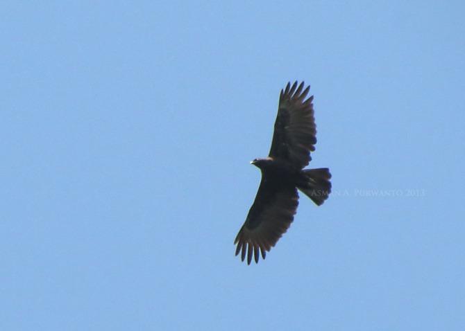 Changeable Hawk-eagle, Dark Morph [Flight]