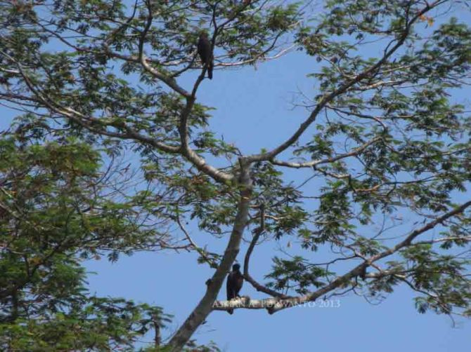 Bertengger di Pohon munggur memantau pergerakan Sikepmadu Asia yang sedang soaring [03/10/13]
