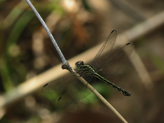 Cratilla lineata-Wonosadi-aap-17