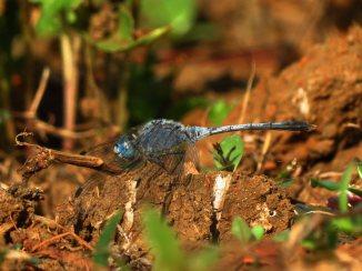 Diplacodes trivialis-Wonosadi-male-aap-1