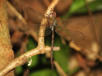 Gynacantha dohrni-Wonosadi-aap-1