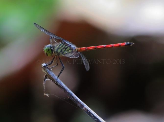Lathrecista asiatica-Wonosadi-female-aap-1a