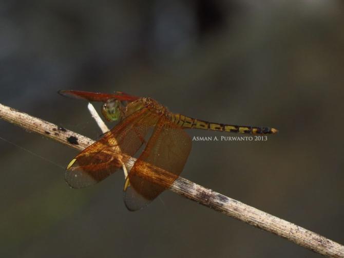 Nerothemis ramburii-female-Wonosadi-aap-2