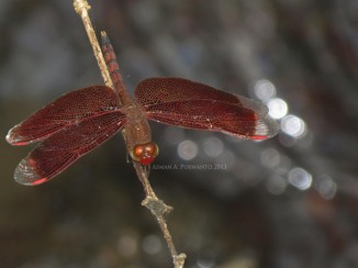 Nerothemis ramburii-Male-Wonosadi-aap-1