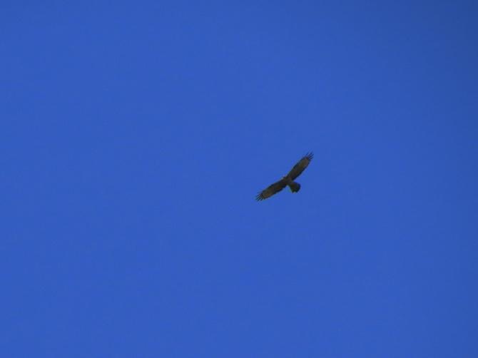 OHB Pale morph, female yang super tinggi [09/10/13]