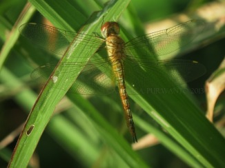 Pantala flavescens-Wonosadi-female-aap-15