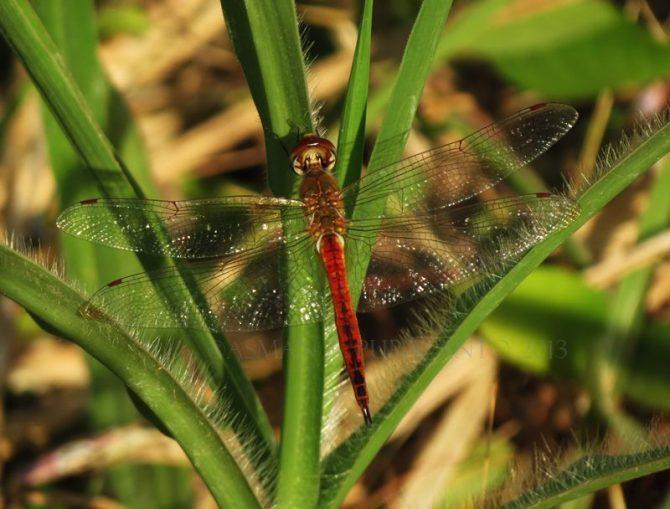 Pantala flavescens-Wonosadi-female-aap-15a