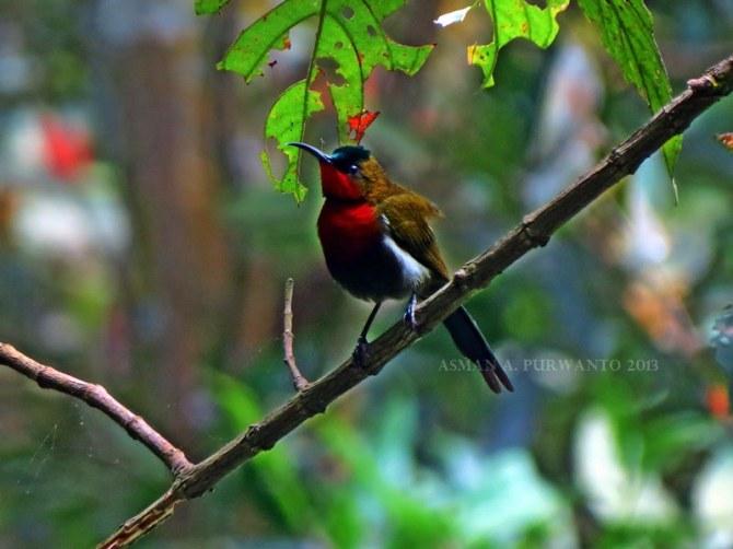 Burungmadu Gunung-Jantan-Merapi-aap-2