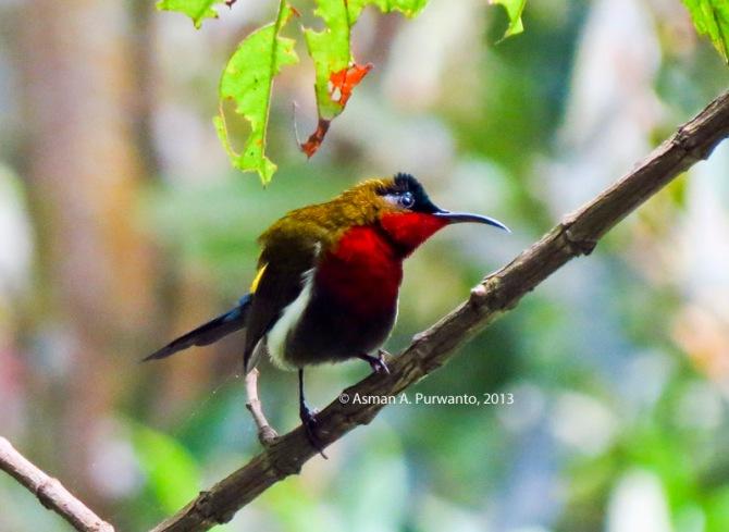 Burungmadu Gunung-Jantan-Merapi-aap-3