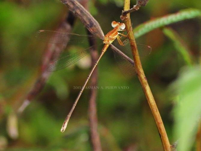 Lestes concinus-baluran-aap-1