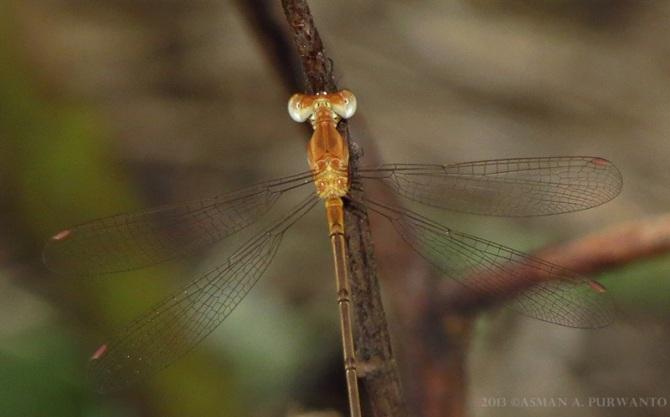 Lestes concinus-baluran-aap-2