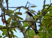 Adult Male, Cangar, East Java, 3.12.13