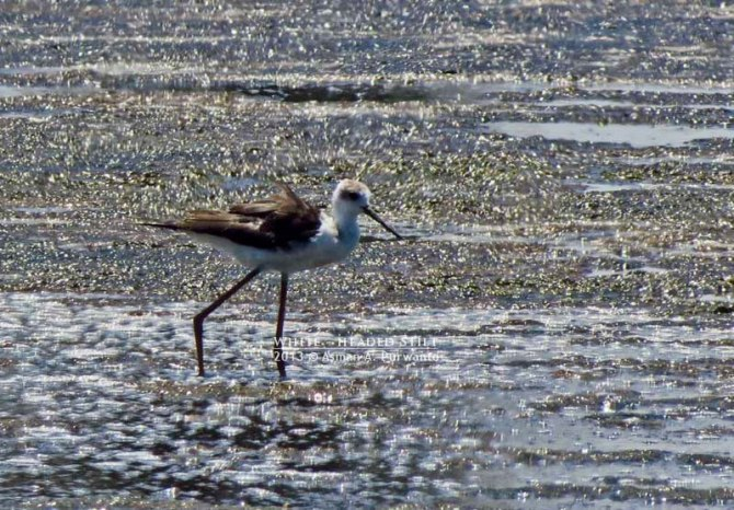 White-headed Stilt-Wonorejo-aap-5