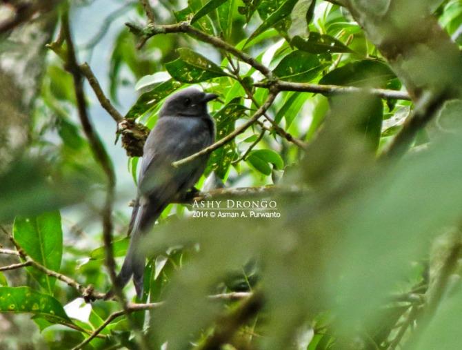 Ashy Drongo-Merapi-aap-1