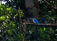 Collared Kingfisher. Bogor (BBG), 02.3.13