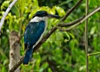Collared Kingfisher, Masa Kambing, 07.6.13