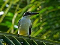 Collared Kingfisher, Masa Kambing, 08.6.13