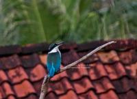 Collared Kingfisher, Masa Kambing, 10.6.13
