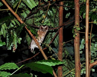 Collared Scops Owl, 16.4.2011, Way Rilau, Lampung.