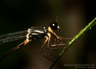 Bagian thorax, Jantan