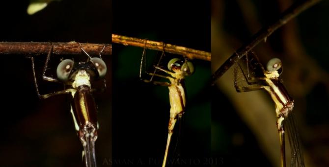 Bagian thorax pejantannya