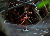 Rufous backed Kingfisher, Bali 31.10.13