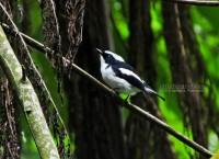 Adult, Male. Gunung Merapi National Park 6.01.14