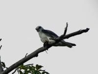 Black-winged Kite-aap2013-2