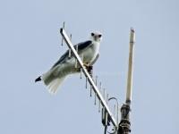 Black-winged Kite-aap2013-3