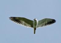 Black-winged Kite-aap2013-4