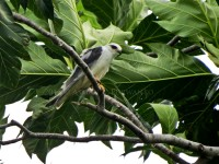 Black-winged Kite-aap2013-5