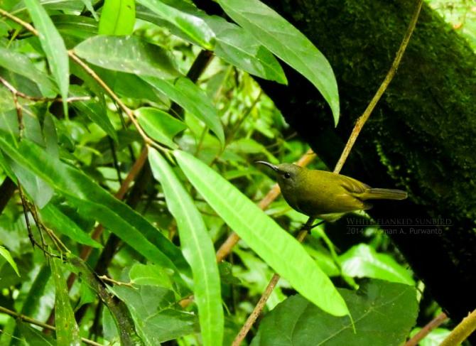 Burungmadu Gunung-Plawangan-aap-1