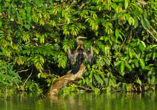 Download this Sangiang Oriental Darter picture