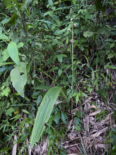 Eulophia nuda dengan pohon secara keseluruhan