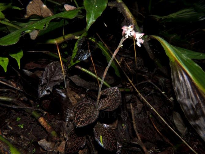 Anoectochilus reinwardtii. 10.7.2014