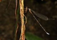 Drepanosticta spatulifera, Jantan - Kalipagu