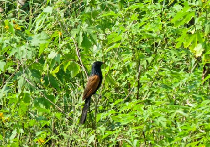 Lesser Coucal Centropus bengalensis. Kuningan 23/4/2014