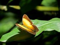 Cirrochroa clagia - Kalipagu