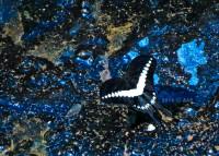 Papilio demolion - Kalipagu