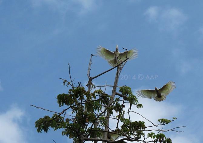 Cacatua sulphurea abbotti - Critically Endangered (Genting)