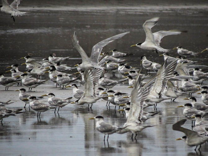 Dara Laut Jambul (Sterna bergii). Delta Progo 10.11.2014