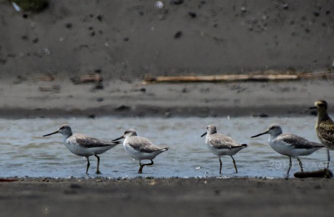Empat Trinil Nordman dan satu Cerek Kernyut (Pluvialis fulva). Delta Progo 10.11.2014