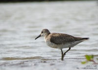 Non-breeding plumage :: Delta Progo, 23.11.14