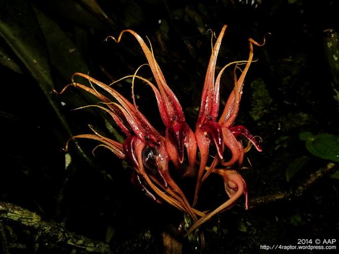 Bulbophyllum pahudi_KRB Baturaden