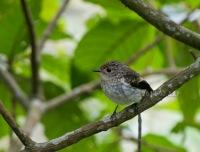 Juvenile, Gunung Merapi National Park. 12.08.14