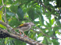 Juvenile Male, Goa Jepang, Yogyakarta. 1.01.15