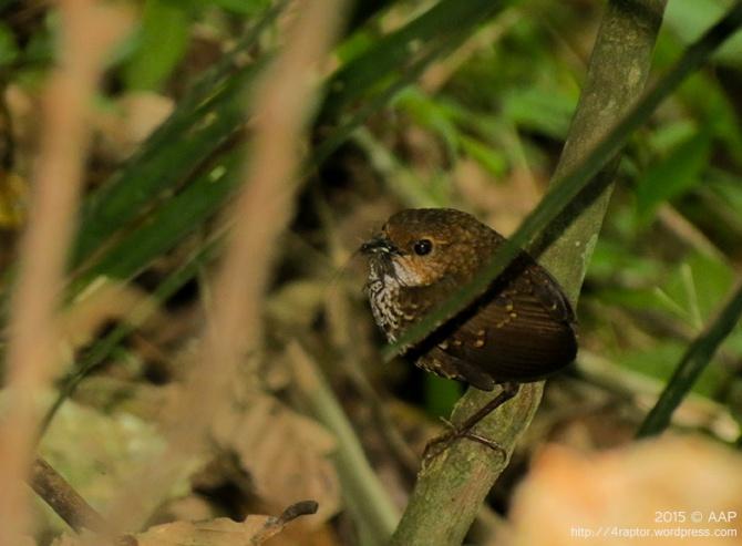 Berencet Kerdil ǀ Pygmy-wren Babbler ǀ Pnoepyga pusilla. 11.01.15