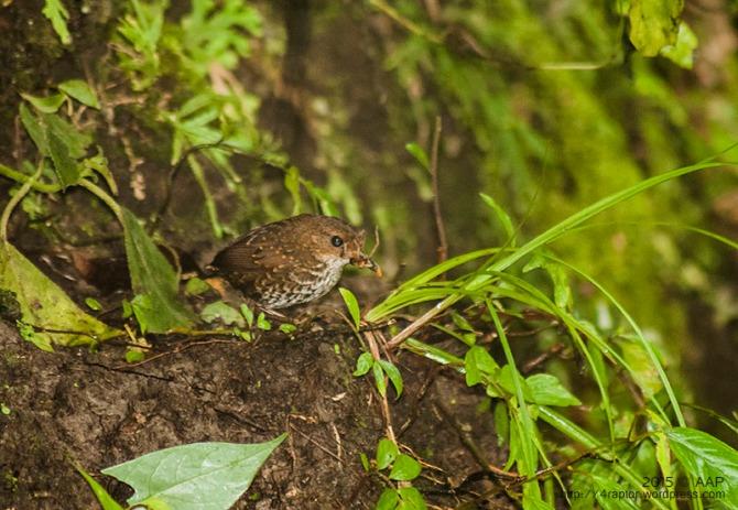 Berencet Kerdil ǀ Pygmy-wren Babbler ǀ Pnoepyga pusilla. 15.01.15