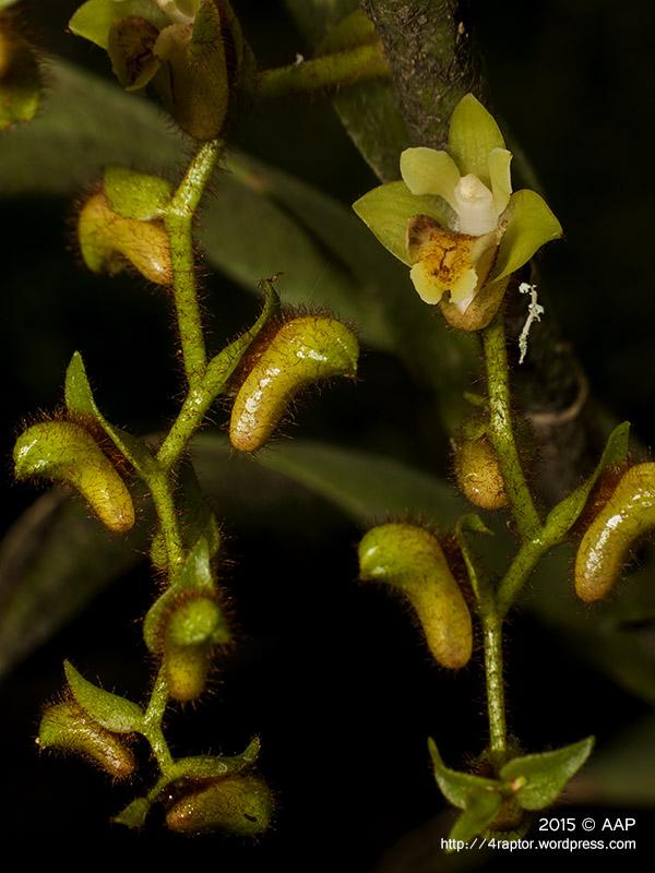Trichostosia ferox Bl_turgo_aap-1
