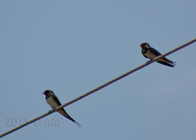 Barn Swallow / Trisik 15.02.15